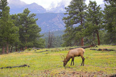 Wild Elk Stock Photography