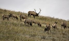 Wild Elk in Alberta. Bull and cow at the rut Stock Images