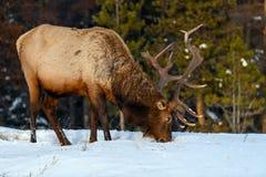 Wild Elk or also known as Wapiti Cervus canadensis in Jasper National Park, Alberta, Canada stock photo
