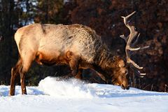 Wild Elk or also known as Wapiti Cervus canadensis in Jasper National Park, Alberta, Canada royalty free stock photos