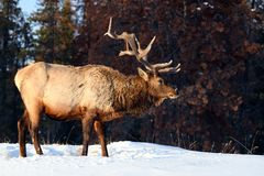 Wild Elk or also known as Wapiti Cervus canadensis in Jasper National Park, Alberta, Canada royalty free stock photo