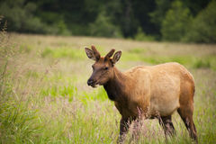 Wild elk buck in the tall grass. Wild elk buck, male, walking in tall grass in the field with pine trees in the background Stock Image