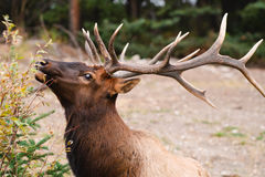 Wild Elk. Wild Bull Elk, Banff National Park Alberta Canada Royalty Free Stock Photos