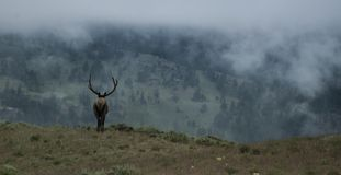 Elk bull on foggy morning. Wild elk bull into the wilderness Royalty Free Stock Image