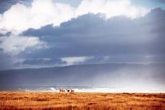 Wild Elk in California Coast Royalty Free Stock Photo