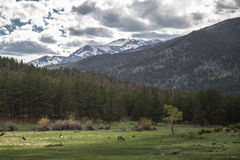 Wild elk in a field in Colorado Royalty Free Stock Images