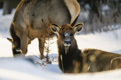 Wild Elk. Herd, Banff National Park Alberta Canada in winter Stock Images