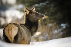Wild Elk. Herd, Banff National Park Alberta Canada in winter Royalty Free Stock Images