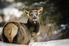 Wild Elk Royalty Free Stock Photography