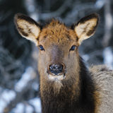 Wild Elk. Herd, Banff National Park Alberta Canada in winter Stock Photography
