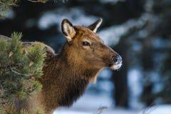 Wild Elk Royalty Free Stock Photo