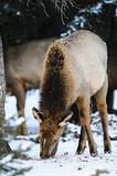 Wild Elk. Herd, Banff National Park Alberta Canada in winter Stock Photos