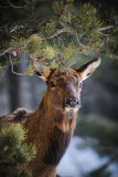 Wild Elk. Herd, Banff National Park Alberta Canada in winter Royalty Free Stock Photos