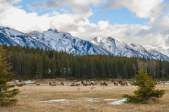Wild Elk Royalty Free Stock Photos