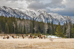 Wild Elk Royalty Free Stock Images