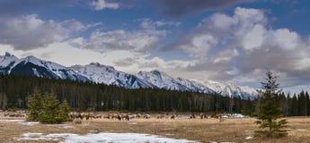 Wild Elk Stock Image