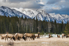 Wild Elk Royalty Free Stock Image