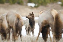 Wild Elk. Wild mountain Elk, Banff National Park Alberta Canada Royalty Free Stock Image