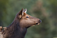 Wild Elk Royalty Free Stock Photography