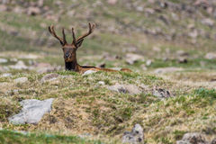 Wild elk in mountain field. Wild bull elk looking up over a small hill - rocky mountain national park colorado wildlife photography - elk with antlers Stock Photo