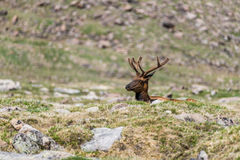 Wild elk in mountain field. Wild bull elk looking up over a small hill - rocky mountain national park colorado wildlife photography - elk with antlers Stock Images