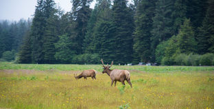 Wild Elk in Redwood National Park, California royalty free stock photo