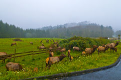 Wild Elk by the road. Large group of Elk grazing by the side of the busy street Stock Images