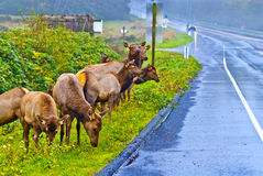 Wild Elk by the road. Large group of Elk grazing by the side of the busy street Stock Photo