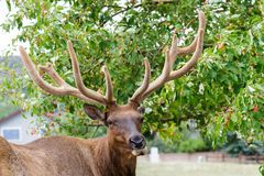 Elk of The Colorado Rocky Mountains. Wild Elk in the Rocky Mountains of Colorado Royalty Free Stock Photography