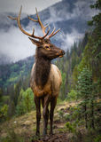 Wild Elk. Rutting bull elk in the Rocky Mountains of Colorado Stock Image