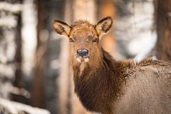 Wild Elk in the snow. Wild Elk in a snowy forest in Banff National Park Alberta Canada Royalty Free Stock Photos