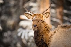 Wild Elk in the snow. Wild Elk in a snowy forest in Banff National Park Alberta Canada Stock Images