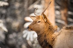 Wild Elk in the snow. Wild Elk in a snowy forest in Banff National Park Alberta Canada Royalty Free Stock Images