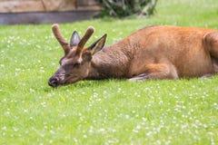 Wild elk Royalty Free Stock Image