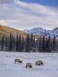 Wild Elk in winter Banff National Park Stock Photos
