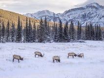 Wild Elk in winter Banff National Park Stock Images