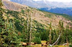Colorado state wild elks family Stock Photo