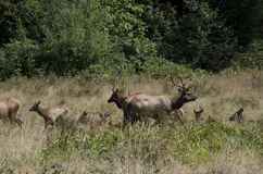 Free Wild Elks In Redwood National Park Royalty Free Stock Photo - 76425805
