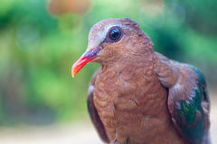 Wild emerald dove on natural background Stock Photos