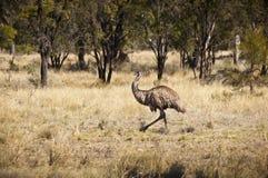 wild emu Royaltyfria Bilder