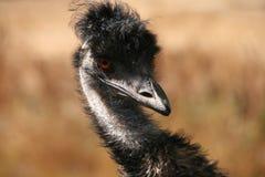 wild emu Royaltyfri Bild