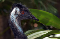 Wild Emu bird. Profile in Queensland, Australia Stock Photo