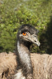 Wild emu Stock Photo