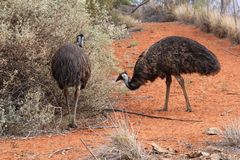 Wild emus in the red desert of Australia Stock Photos