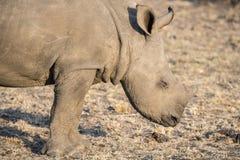 Wild Endangered White Rhinoceros (Ceratotherium simum) in Africa. Baby Wild Endangered White Rhinoceros (Ceratotherium simum) Resting in Africa Stock Photo