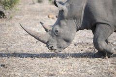 Wild Endangered White Rhinoceros (Ceratotherium simum) in Africa. Wild Endangered White Rhinoceros (Ceratotherium simum) Grazing in Africa Stock Photos