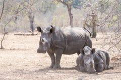 Wild Endangered White Rhinoceros (Ceratotherium simum) in Africa. Wild Endangered White Rhinoceros (Ceratotherium simum) Resting During the Day in Africa Royalty Free Stock Images