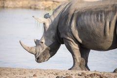 Wild Endangered White Rhinoceros (Ceratotherium simum) in Africa. Wild Endangered White Rhinoceros (Ceratotherium simum) at a Water Hole in Africa Stock Image