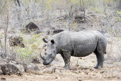 Wild Endangered White Rhinoceros (Ceratotherium simum) Royalty Free Stock Photo