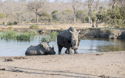 Wild Endangered White Rhinoceros (Ceratotherium simum). At a Water Hole in Africa Stock Photos